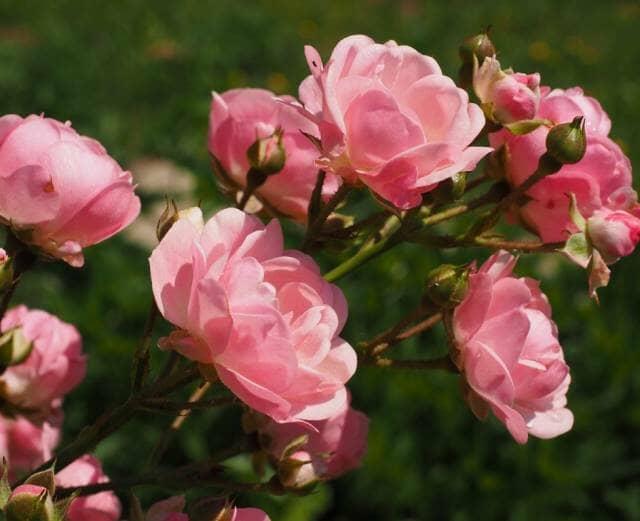 バラの苗木