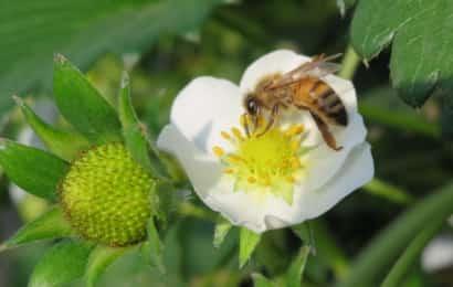 イチゴの花とミツバチ