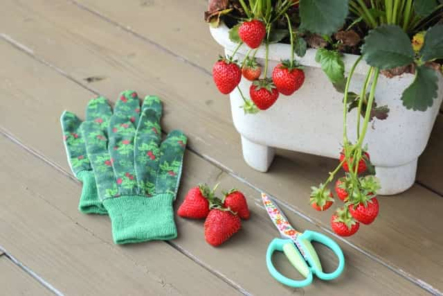 イチゴのプランター栽培