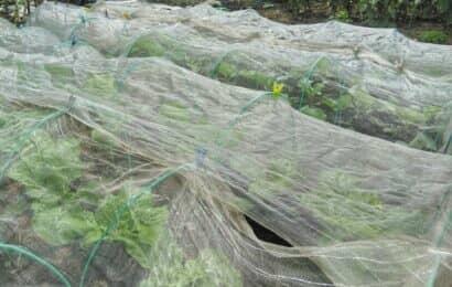 防虫ネットをかけた畑