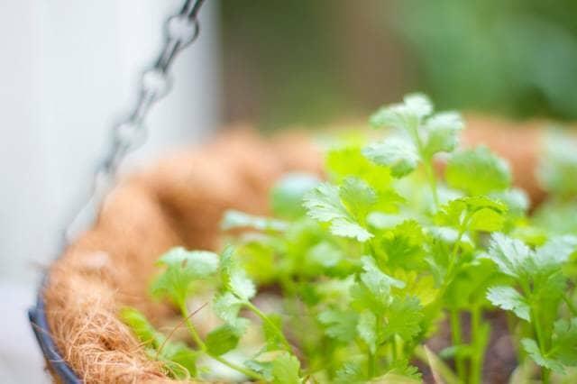 鉢植えのコリアンダー(パクチー)