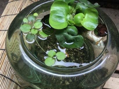 ガラス製の睡蓮鉢