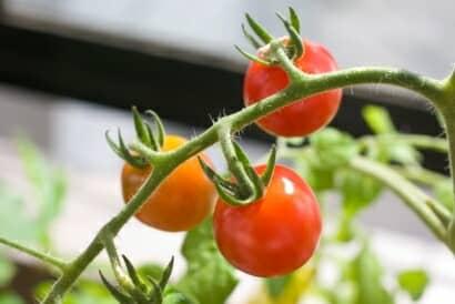 ミニトマトのベランダ栽培