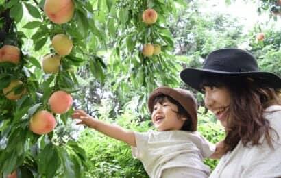 桃狩りを楽しむ親子