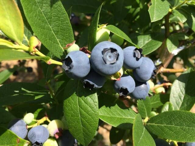 木になったおいしそうなブルーベリー