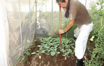 地床育苗の根切り作業の様子