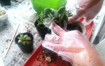 多肉植物の寄せ植え作業