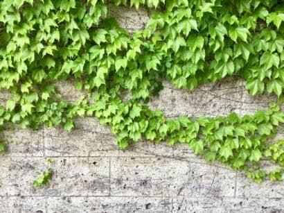 ツル性の植物