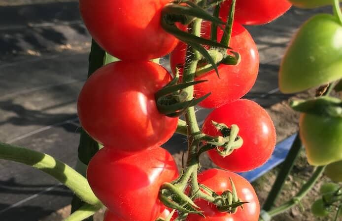 収穫間際のミニトマト