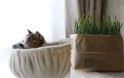 猫草を食べない猫