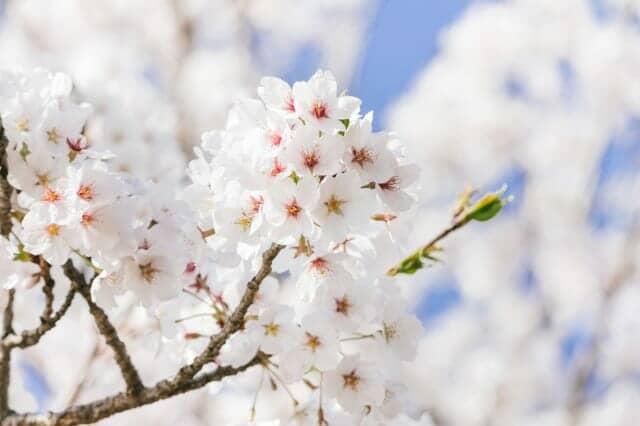 青空をバックにした満開の桜
