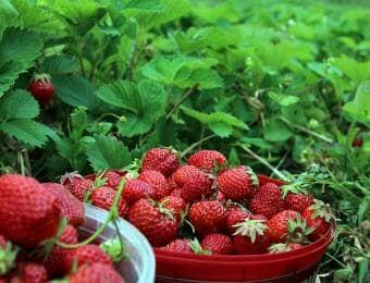 イチゴ栽培で収穫