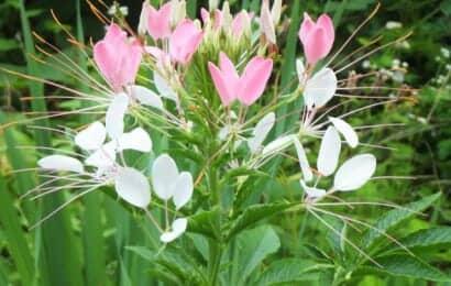 ピンクと白い花弁をもつクレオメの花
