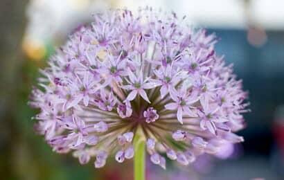 アリウムエンジェルはピンクの花
