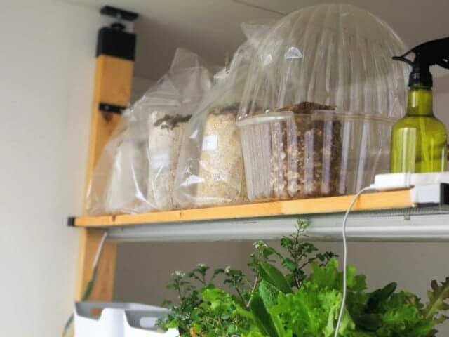 ブナシメジ栽培キット