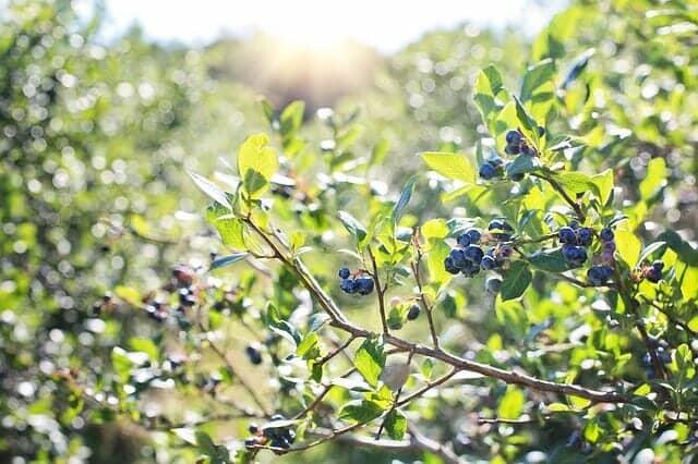 ブルーベリー栽培にも鹿沼土を混ぜて