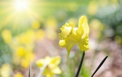 水仙は日当たりが良い場所に植える