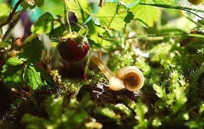 イチゴの果実を狙うカタツムリ