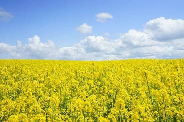 油粕とは、菜種からも作られる
