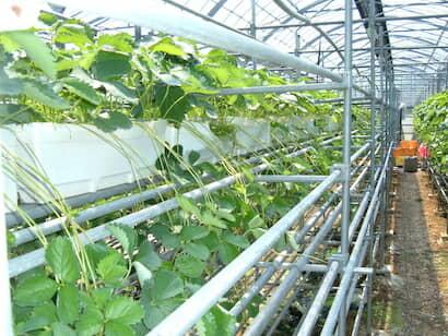 イチゴの空中採苗