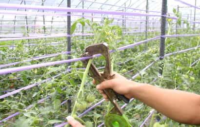 ビニールハウスで栽培されているトマトが誘引されているところ