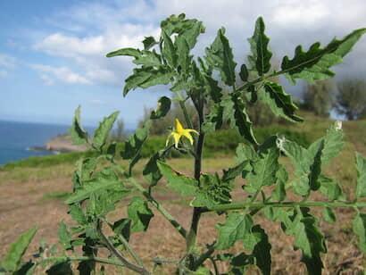 トマト・ミニトマトの葉の形は羽状複葉