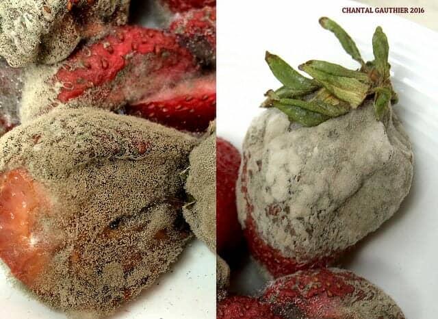 灰色かび病におかされたイチゴの果実