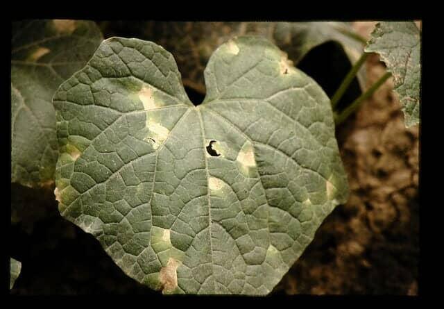 べと病におかされたキュウリの葉