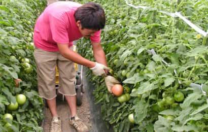 ビニールハウス内で栽培されているトマトの収穫作業