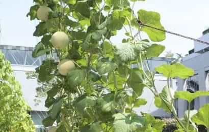 ころたん、ミニメロン、ベランダ栽培、グリーンカーテン
