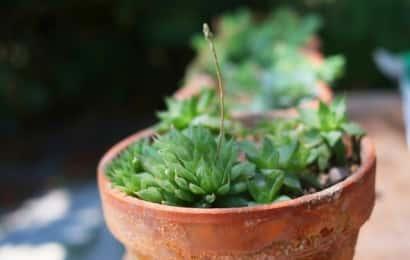 素焼き鉢におすすめの植物