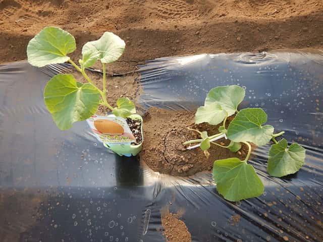 ころたん、栽培、ミニメロン