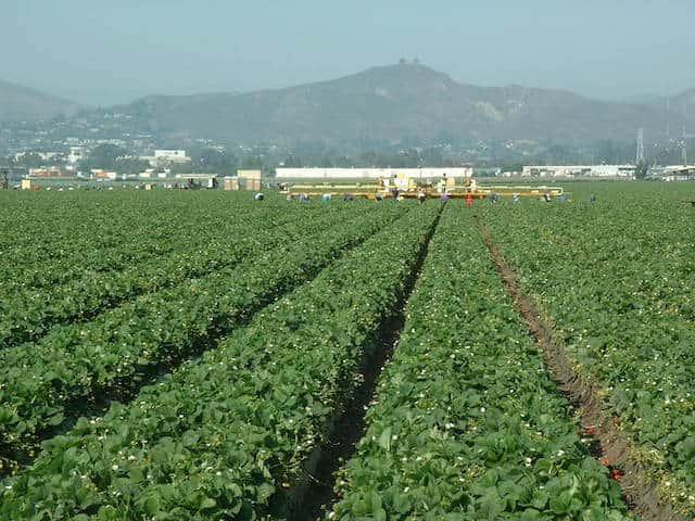 イチゴの露地栽培(カリフォルニア)