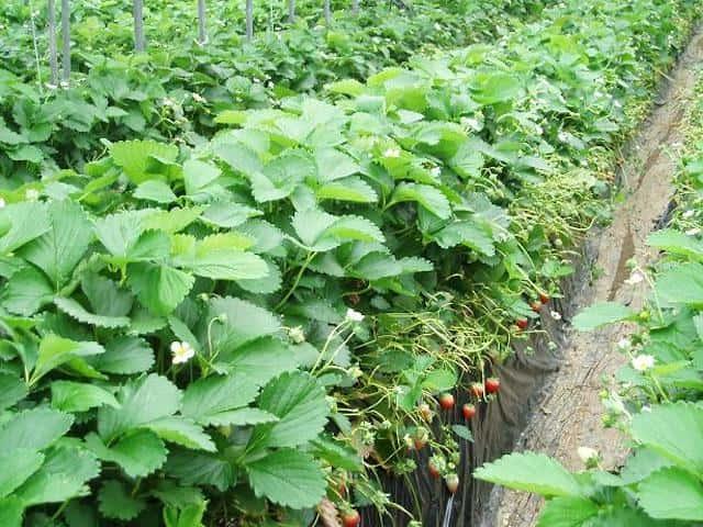イチゴの高畝栽培