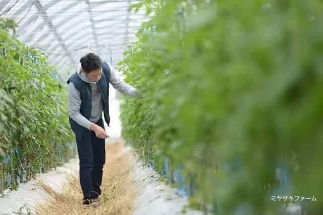 ミヤザキファームで育てられている「宝石とまと」の栽培風景