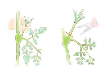 トマト・ミニトマトのわき芽かき