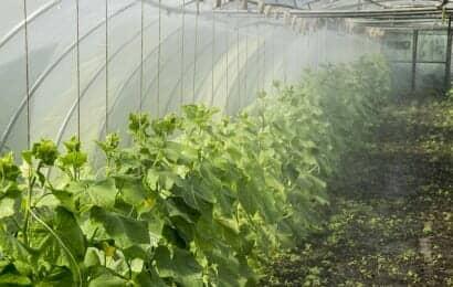 ビニールハウス栽培でミストをかけて水やりをしているキュウリ