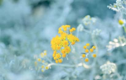 花が咲くシルバーリーフも