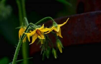 黄色いトマトの花