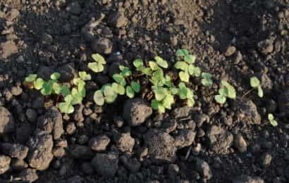そばの芽が出た