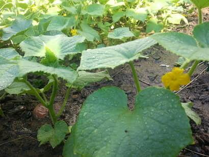 葉柄の角度が45度位で葉身が水平になっている生育良好なキュウリ