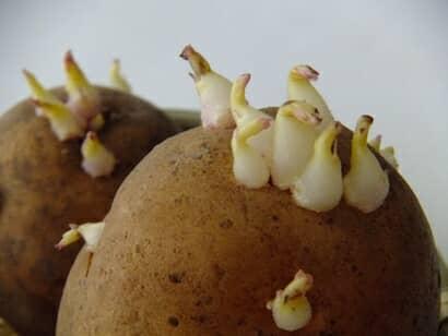 ジャガイモ、芽、毒性