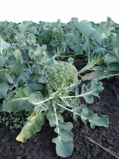 ブロッコリー、茎、わき芽