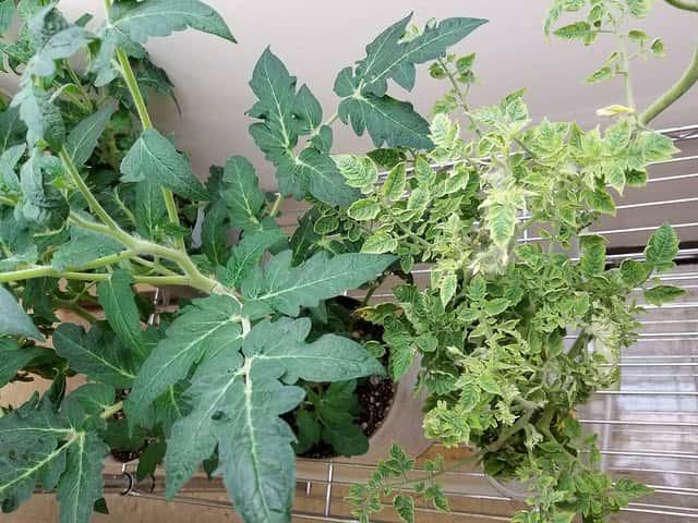 ベランダで栽培している黄化葉巻病におかされたトマトの苗