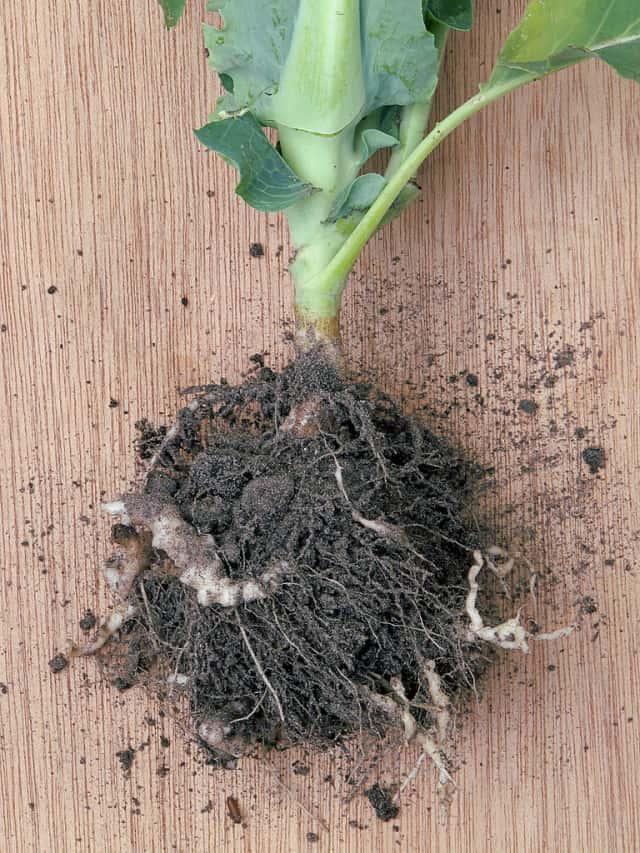 根こぶ病におかされたカリフラワーの根