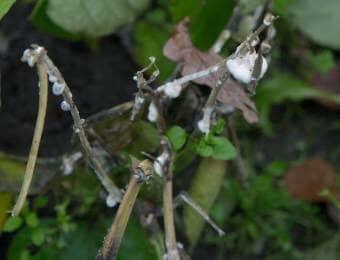 菌核病におかされた植物