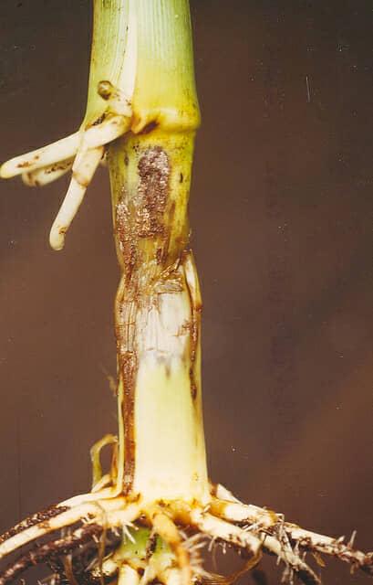 ピシウム菌によって苗立枯病が発生したコーン(トウモロコシ)の苗