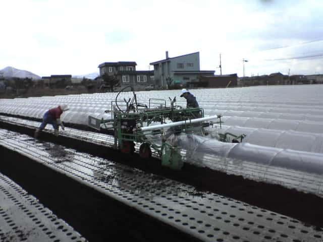 トンネルをかけたニンジンのマルチ栽培