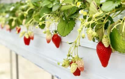 反射シートを使って栽培されているイチゴ