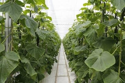 肥料過多または日照不足が原因で葉や葉柄の角度下がり気味なキュウリ